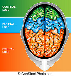 Human brain view top - Illustration body part, human brain...