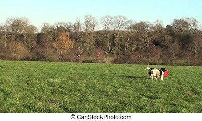 Springer in A field