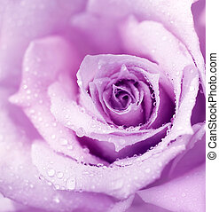 Purple wet rose background - Abstract purple wet rose...