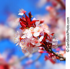 Cherry tree blossom flowers at spring over blue natural sky...