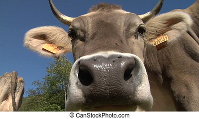 cow 06 - The curious snout of a cow
