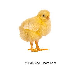 小雞, 絨毛狀, 復活節