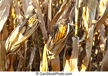 natural full frame background with withered corn plants