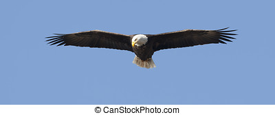 Panorama of eagle soaring high - Adult bald eagle soars up...