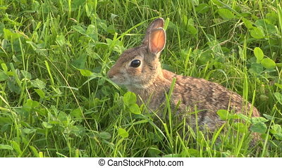 hare 03 - Close up of a hare in the grass
