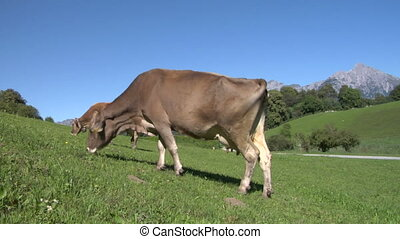 cow 03 - Cow in Swiss Alps