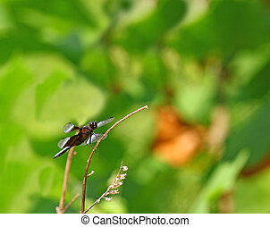 un, Adulto, macho, viuda, Skimmer, (Libellula, luctuosa),...