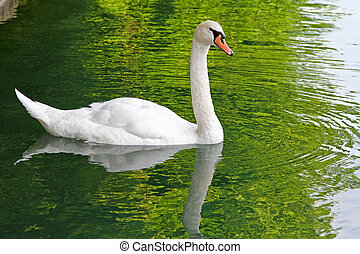 Swan - One white mute swan in green lake