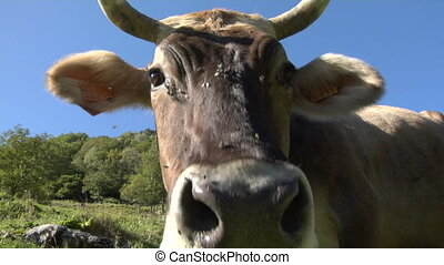 cow 07 - The curious snout of a cow