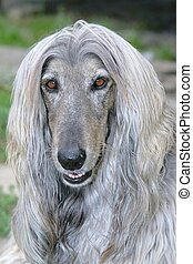 A beautiful Afghan hound dog head portrait