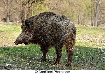 Wild boar - Wild-boar in the forest