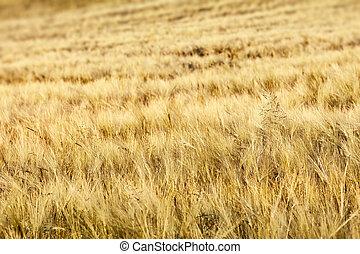 Wheet - Summer wheet field as background
