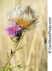 thistle - Blossoming prickly burdock in beams of the sun
