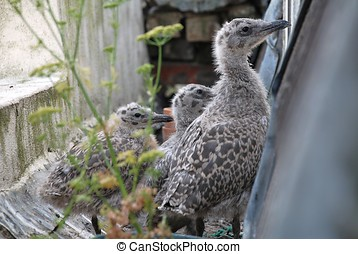 European Herring Gull chicks - Three European Herring Gull...