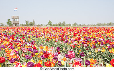 Multi colored tulip field in the Netherlands with...