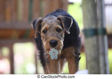 Airedale Terrier puppy licks on an artificial flower