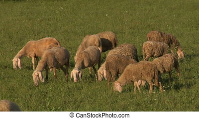 sheep 05 - Flock of Sheep grazing in a field