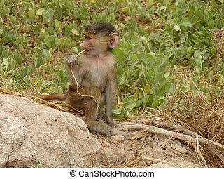 Baby baboon with root - A baby baboon while he is sucking a...