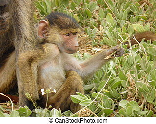 Baby baboon scratching - A baby baboon as he is scratching...