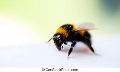 Honey bee on a window