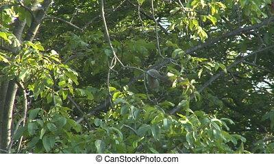 squirrel 01 - Gray squirrel