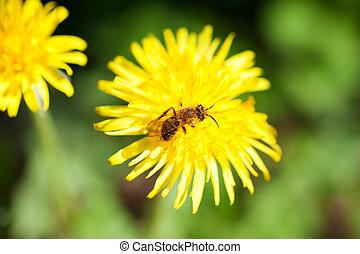 Bee on a dandelion - A Bee on a dandelion