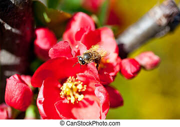 Bee on a red flower - A Bee on a red flower