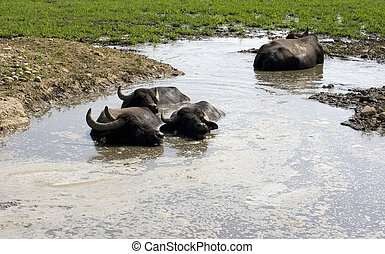 Buffaloes in a muddy water - View of buffaloes in a muddy...
