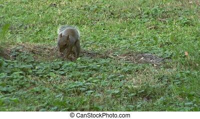 squirrel 05 - Gray squirrel