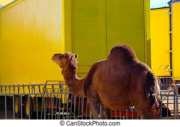 Dromedary - A Dromedary on yellow background