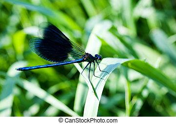 Dragonfly on leaf - A blue dragonfly on leaf