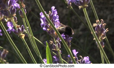 bee 101 - Bee collecting pollen on a lavanda flowers