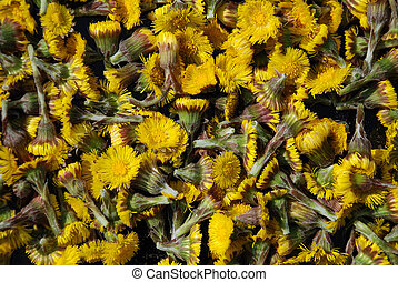 Coltsfoot - A heap of Coltsfoot