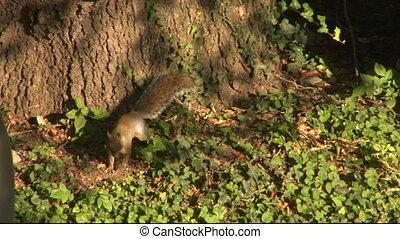 squirrel 07 - Gray squirrel