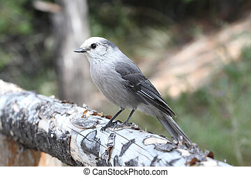 Gray Jay Perisoreus canadensis in Yellowstone National Park...