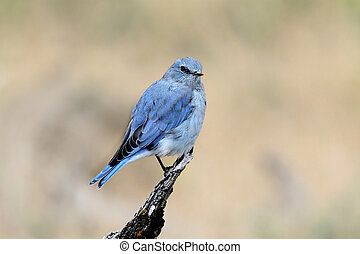 Mountain Bluebird - Male Mountain Bluebird (Sialia...