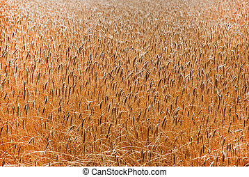 Wheatfield  - Wheat in field