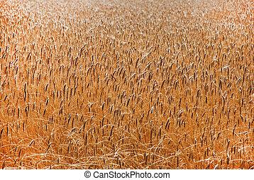 Wheatfield  - Wheat in field