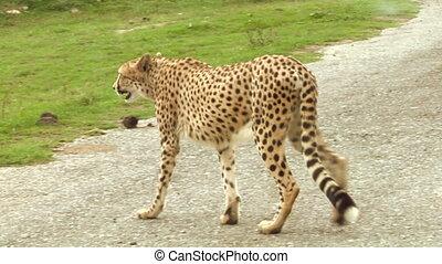 cheetah 01 - Cheetah