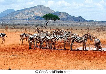 Zebras in a water hole