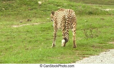 cheetah 02 - Cheetah