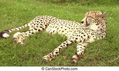 cheetah 03 - Cheetah