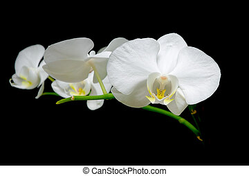 blooming white orchid against a black background