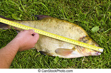 Measure fish bream Hand hold tool big catch - Measure fish...
