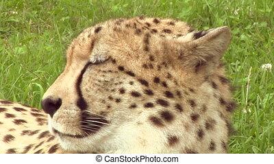 cheetah 04 - Close up of a cheetah