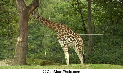 giraf 01