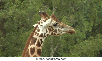 giraf 02 - Close up of a giraffe