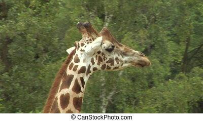 giraf 02