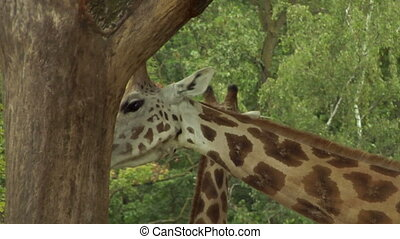 giraf 03 - Two giraffes near a tree