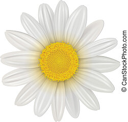 Daisy flower - Daisy, chamomile flower isolated, vector.